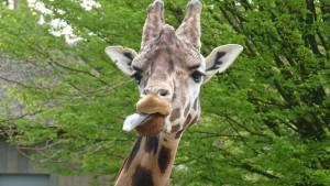 Giraffe mmmmm dierenparkEmmen